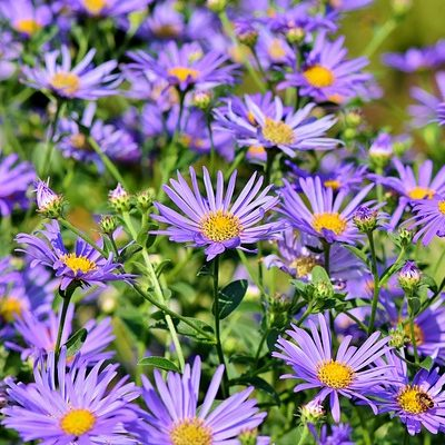 September Birthday Flower Aster