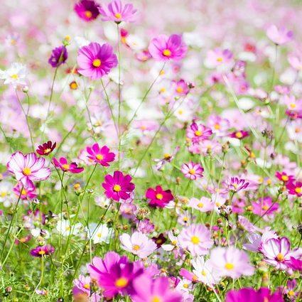 October Birthday Flower Cosmos