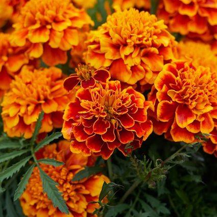 October Birthday Flower Marigold
