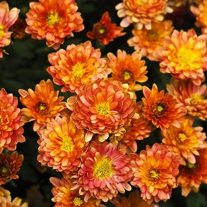 November Birthday Flower Chrysanthemum