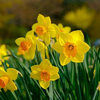 December Birthday Flower Daffodil