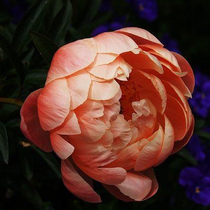 November Birthday Flower Peony