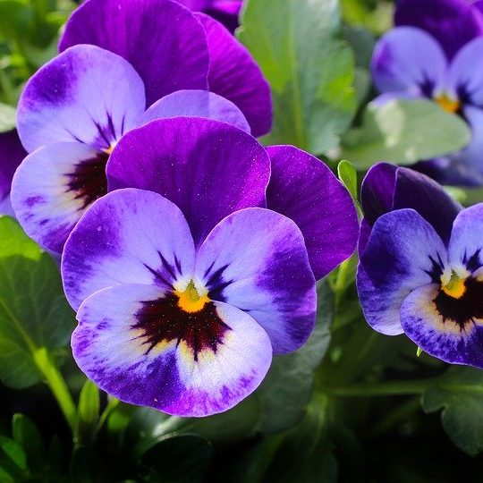 February Birth Flower Pansy / Violet
