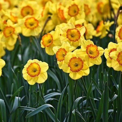 March Birthday Flower Daffodil (Narcissus)