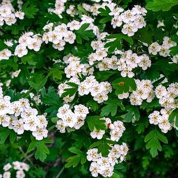 May Birthday Flower Hawthorn